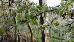 Frostbewässerung 1